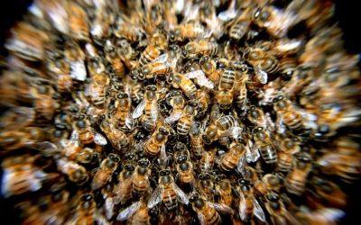 Menace sur les pollinisateurs sauvages